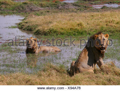 lion (Panthera leo), lions cooling down in the water, Kenya, Amboseli National Park