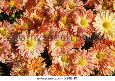 Gerbera flowers blossom - Stock Photo