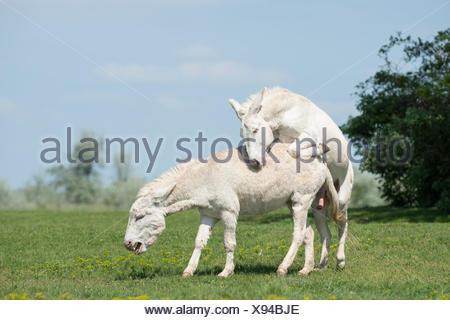 Austria-Hungarian white donkey or Baroque Donkey (Equus asinus asinus), male mounting mare, National Park Lake Neusiedl - Stock Photo