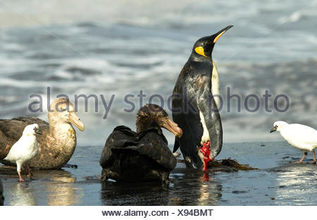 Wounded King Penguin attacked by Giant Petrels - Stock Photo