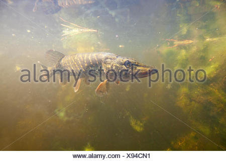 nature photo of a pike underwater in clear water - Stock Photo