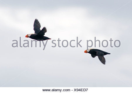 Two flying tufted puffin. - Stock Photo