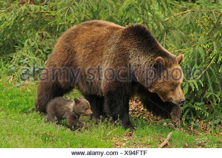European brown bear (Ursus arctos arctos), bearess walking with bear cub at the forest edge, Germany, Bavaria, Bavarian Forest National Park - Stock Photo