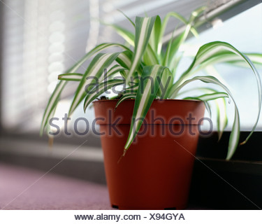 Spider plant on windowsill - Stock Photo
