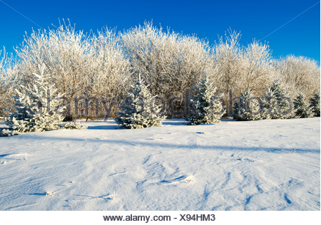 frost covered trees in shelter belt, near Dugald, Manitoba, Canada - Stock Photo