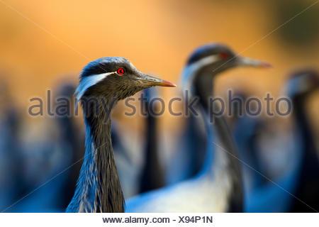 Demoiselle cranes (Anthropoides virgo) flock, India. - Stock Photo