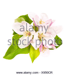 Pink apple blossom isolated on white background - Stock Photo