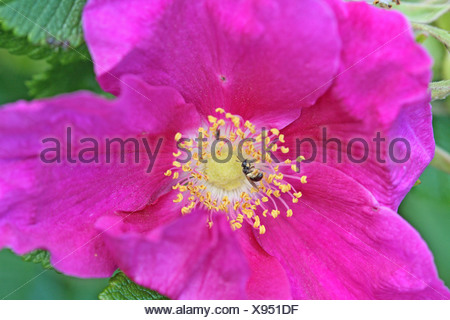 Wild dog rose, Rosa canina  A large open deep fuchsia dogrose with a small black bee inside it  The flower can be used for - Stock Photo
