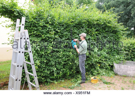 Shaping a Hornbeam-Hedge - Stock Photo