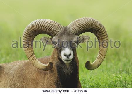 Mouflon, Mufflon, Germany - Stock Photo