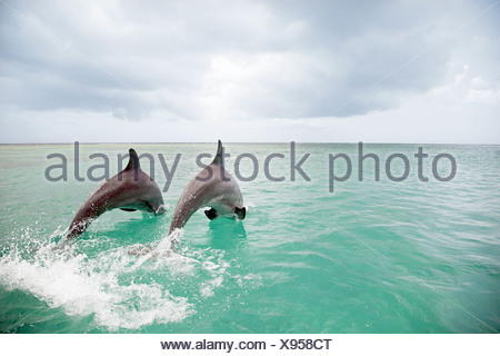 Bottlenose dolphins leaping into sea - Stock Photo