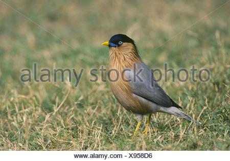 Brahminy Starling, Sturnus pagodarum - Stock Photo