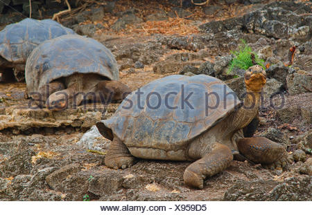 Galapagos tortoise, Galapagos giant tortoise (porteri) (Chelonodis nigra porteri, Geochelone elephantopus porteri, Geochelone nigra porteri, Testudo elephantopus porteri, Chelonoides elephantopus porteri), Galapagos tortoises on a rock, Ecuador, Galapagos Islands, Santa Cruz, Santa Cruz Highlands - Stock Photo