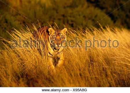 Tiger Walking In Long Grass, Karoo, South Africa - Stock Photo