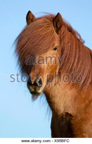 Icelandic Horse Portrait chestnut stallion Austria - Stock Photo