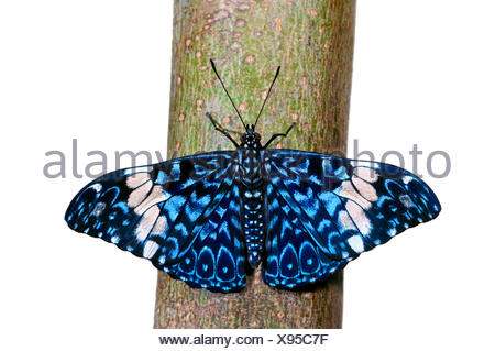 Red Cracker, cracker butterfly (Hamadryas amphinome), cut-out - Stock Photo