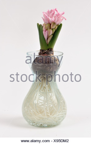 Common Hyacinth (Hyacinthus orientalis) bulb, flower shoot developing, and roots (series) - Stock Photo