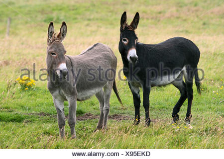 Domestic donkey (Equus asinus asinus), two donkeys standing together on a pasture, Ireland - Stock Photo