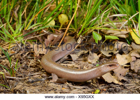 Eastern slow worm, blindworm, slow worm (Anguis fragilis colchica, Anguis colchica), male, Turkey, Thrace - Stock Photo