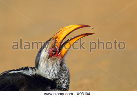 southern yellow-billed hornbill (Tockus leucomelas), eating an insect, portrait of the head, South Africa, Hluhluwe-Umfolozi National Park - Stock Photo