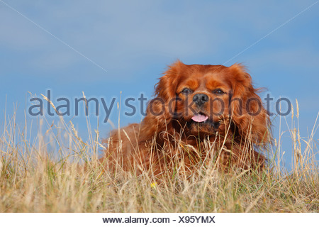 Netherlands, Texel, Cavalier King Charles Spaniel sitting on a dune - Stock Photo