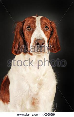Irish Red and White Setter, animal portrait - Stock Photo