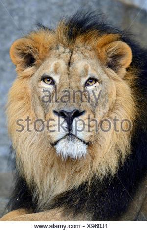 Indian lion (Panthera leo persica), portrait, male, captive - Stock Photo