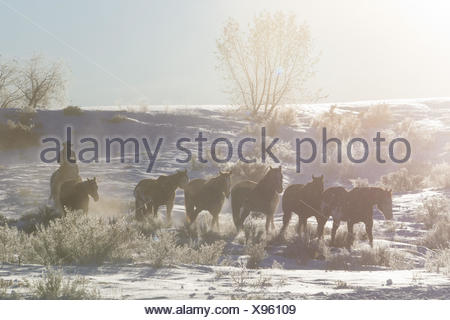 Cowboys drive a herd of horses through snow-covered pastures, morning fog, - Stock Photo