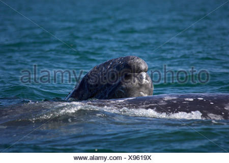 gray whale (Eschrichtius robustus, Eschrichtius gibbosus), calf at the water surface with mother, Mexico, Baja California - Stock Photo