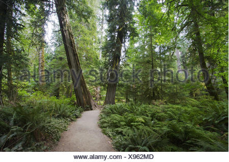 A view of a trail through part of a preserved old growth stand of trees in Cathedral Grove, part of MacMillan Provincial Park - Stock Photo