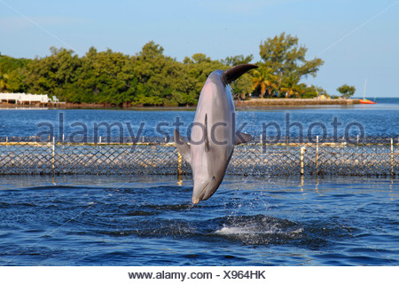 Bottlenosed dolphin, Common bottle-nosed dolphin (Tursiops truncatus), jumping out of the water, USA, Florida, Marathon - Stock Photo