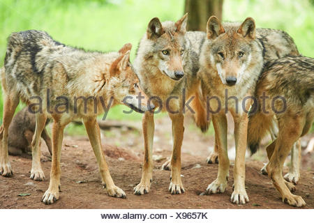 European gray wolf (Canis lupus lupus), pack of wolves in a forest, Germany, Bavaria - Stock Photo