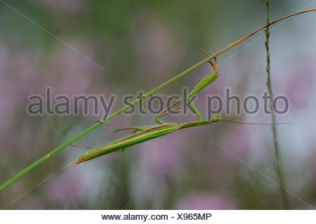 Praying mantis (Mantis religiosa). In the fall near the forest. Maine et Loire, France. - Stock Photo