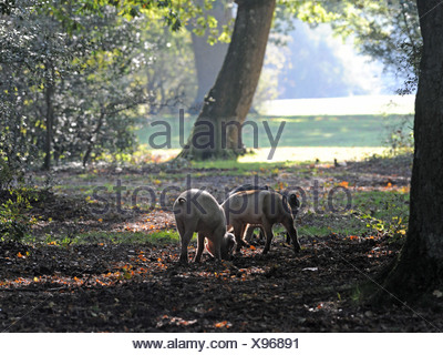 Pigs in the New Forest, Hampshire hunting for acorns by digging with their snouts. - Stock Photo