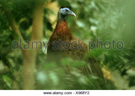 great argus pheasant (Argusianus argus), male sitting in a bush - Stock Photo