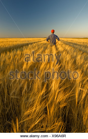 A farmer looks out over his mature, harvest ready barley crop near Carey, Manitoba, Canada - Stock Photo