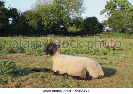 Domestic Sheep Norfolk Horn ewes lambs resting standing amongst thistles rough pasture Little Ouse Headwaters Project Lows Blo' - Stock Photo