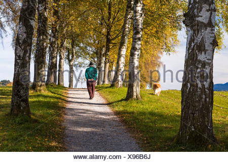 Rambler with a dog walking down a birch tree alley in autumn, Uffing, Upper Bavaria, Bavaria, Germany - Stock Photo
