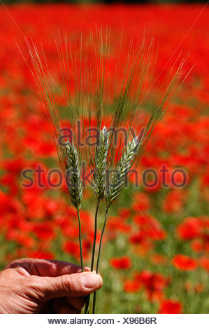 Ears of wild wheat in front of a field of poppy flowers (Papaver) in Provence, France, Europe - Stock Photo