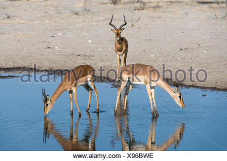 Three impalas, Aepyceros melampus, one male and two females, drinking at a waterhole. - Stock Photo