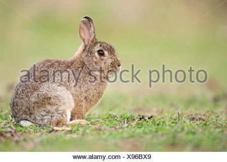 European rabbit (Oryctolagus cuniculus), Lower Austria, Austria - Stock Photo