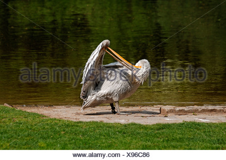 Dalmatian Pelican (Pelecanus crispus) preening on the shore, Nuremberg Zoo, Am Tiergarten 30, Nuremberg, Middle Franconia - Stock Photo