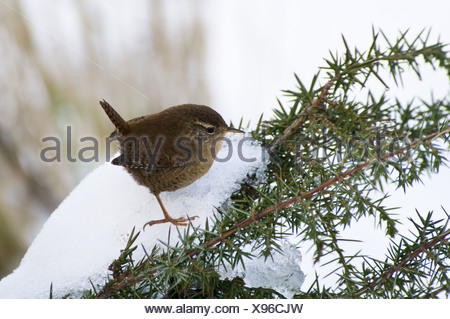 Eurasian Wren (Troglodytes troglodytes) adult, perched on snow covered gorse bush, Crossness Nature Reserve, Bexley, Kent, - Stock Photo