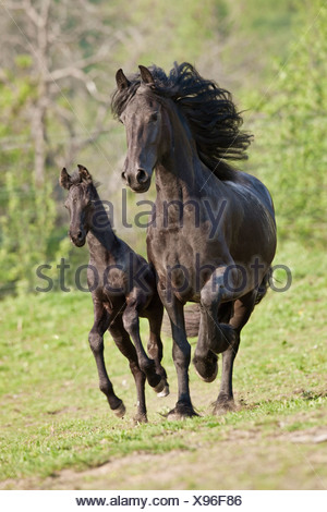 Friesian horse - mare and foal on meadow - Stock Photo