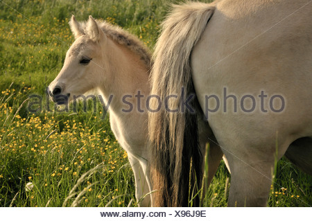 Fjord horse, Norwegian Pony, foal on a pasture protected by the mare - Stock Photo