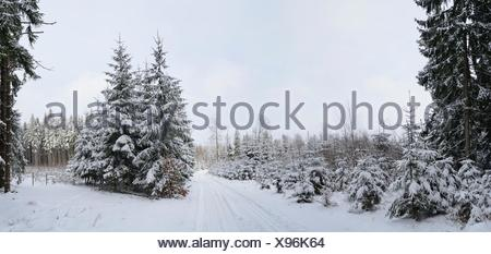 Landscape of trails going through a forest with Norway Spruces Picea abies in winter, Germany - Stock Photo