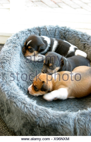 Sweet Sleeping Newborn Puppy Dogs, Jack Rusell puppies in basket - Stock Photo