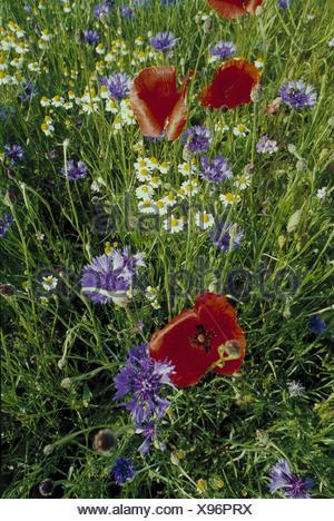 Meadow, cornflowers, Centaurea, cyanus L., poppy seed, Papaver spec., detail, flower meadow, flowers, blossoms, blue, plants, vegetation, botany, Asteraceae, composites, poppies, meadow flowers, red, clap poppy seed - Stock Photo
