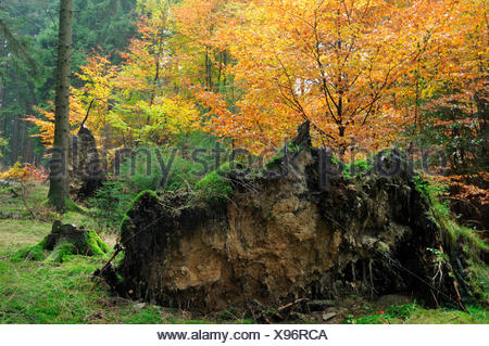 uprooted tree in autumnal forest after storm, Germany, North Rhine-Westphalia, Sauerland, Arnsberg Forest Nature Park Stock Photo