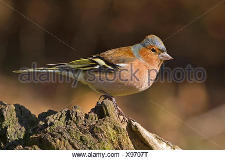 chaffinch (Fringilla coelebs), male sitting on a tree trunk, Germany, Bavaria - Stock Photo